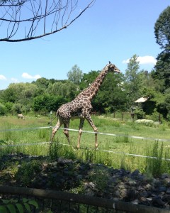Giraffe at Boston ZooB